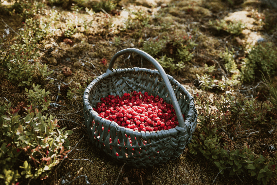 Arctic Flavors makes wild berry powders from berries growing in the clean forests of Finland.