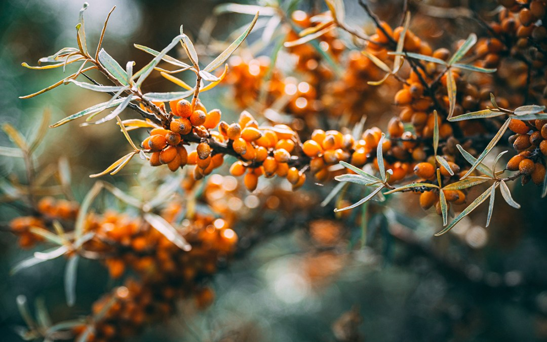 Sea buckthorn products – which one to buy
