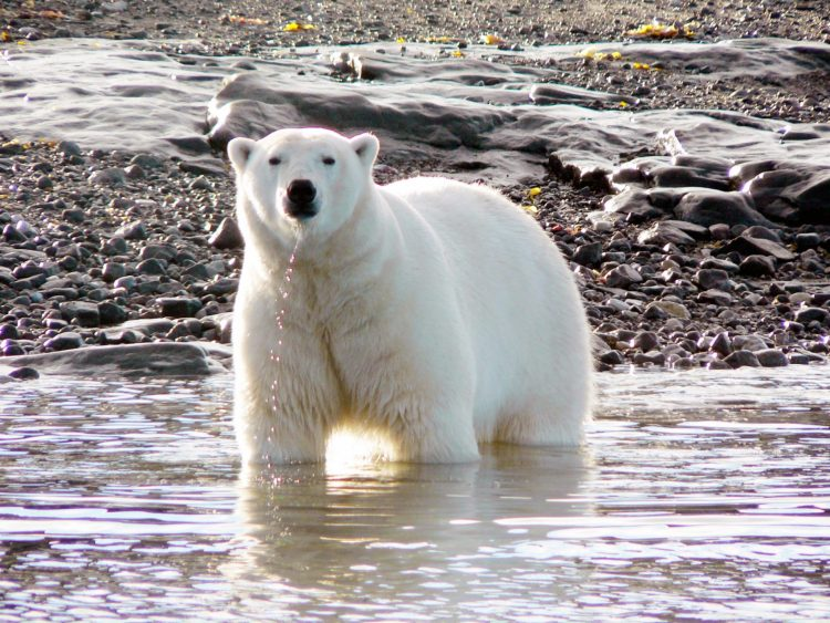 Arctic summer polar bear - Arctic Kingdom safari