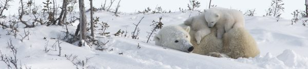 Arctic Kingdom Polar bear mother and cubs wildlife photography