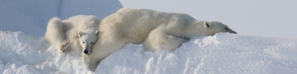 Spring Polar Bears and Icebergs of Baffin Photo Safari Arctic Kingdom