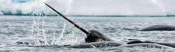 narwhal arctic wildlife_arctic Kingdom