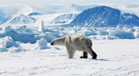 AK_Polar bear in ice 1