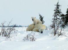 Lynette Reid_Polar_bear_cubs_Canada 2011 273