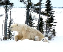 Lynette Reid_Polar_bear_cubs_Canada 2011 879