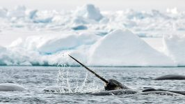 Narwhal_Tusk_AB 1571 by Michelle Valberg