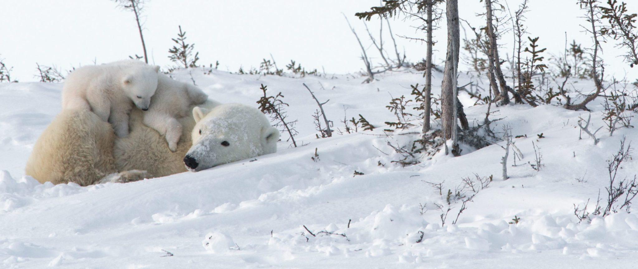 Mother And Cubs Polar Bear Photography Safari | Arctic Kingdom