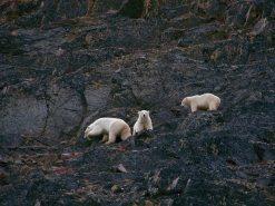Polar_Bear_Mother_and_big_cubs_100_6538