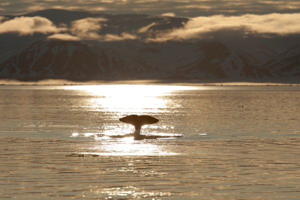 Whale in the arctic