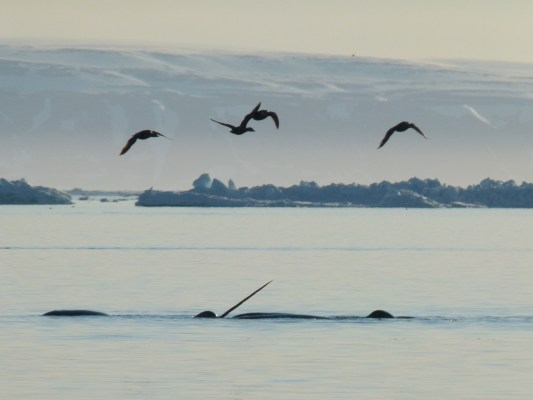 Narwhals during arctic summer with migratory birds above
