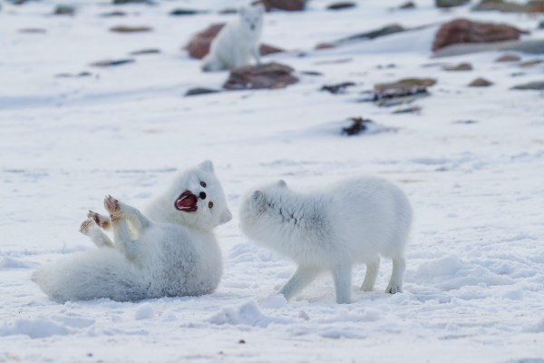 arctic foxes playing