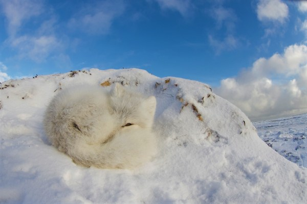 arctic fox curled into a ball