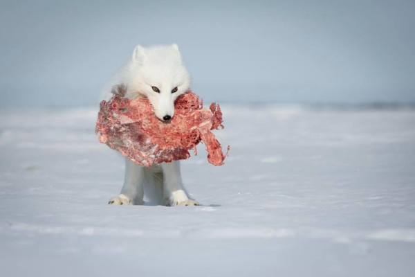 arctic fox scavenging