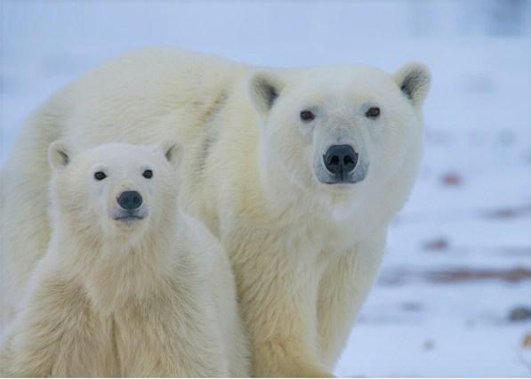 polar bear and cub in the arctic