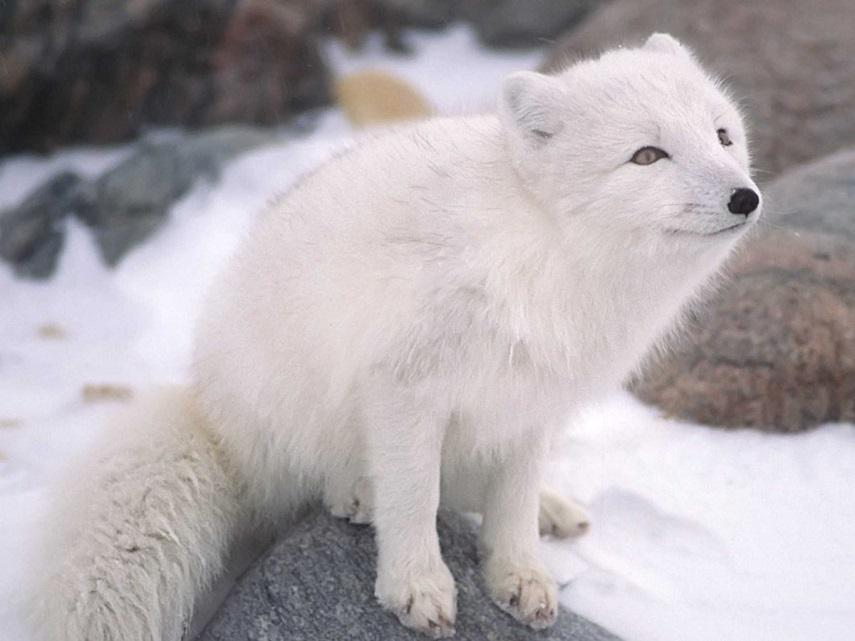 αρκτική αλεπού