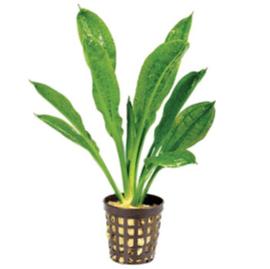 Echinodorus Tropica