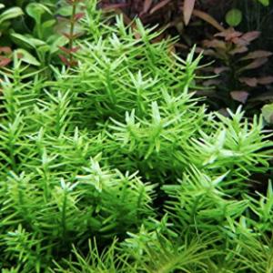 Rotala Rotundafolia (Rotala Green)