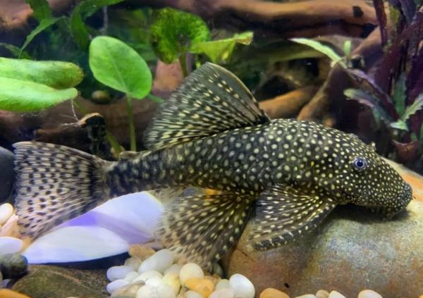 Common Bristlenose catfish
