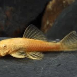 Albino Common Bristlenose Catfish