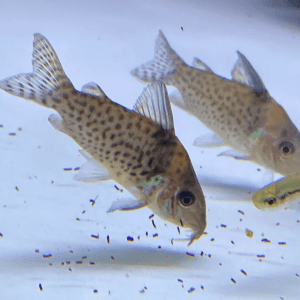 Blue Spotted Corydoras