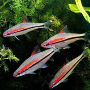 Red-Line Torpedo Barb (Sahyadria denisonii)
