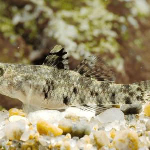 Speckled Goby (Redigobius bikolanus)