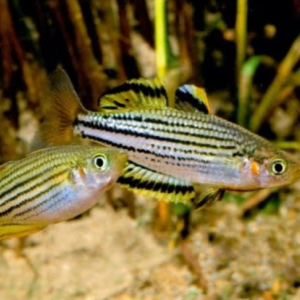 Skull Creek Rainbowfish (Melanotaenia maccullochi)