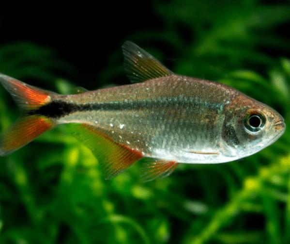 Buenos Aires Tetra (Hyphessobrycon anisitsi)