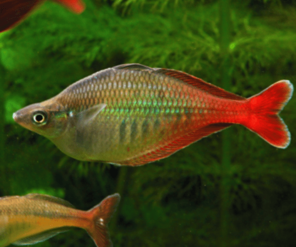 Bleheri Rainbowfish (Chilatherina bleheri)
