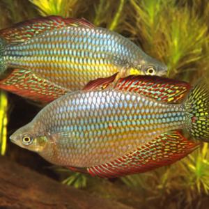Mary River Rainbowfish (Melanotaenia splendida inornata)