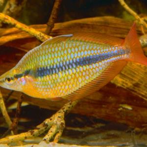 Coen River Rainbowfish (Melanotaenia Trifasciata)