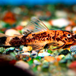 Marble Bristlenose Catfish (Ancistrus sp)