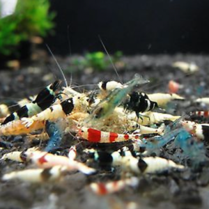 Mixed Mischling Shrimp