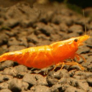 Orange Sunkist Cherry Shrimp (Neocaridina davidi)