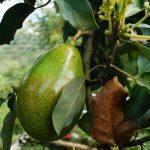 Avocado Tree Starter Pack