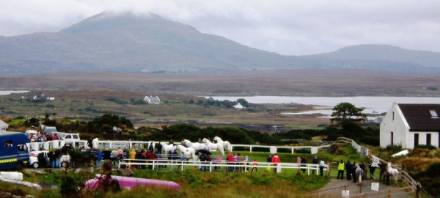 Stallions in the Ring at Roundstone