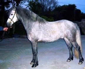 Rickamore Crusheen Rebel X Gortmore Dolly, new stallion in 2009