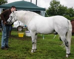 Knockillaree Tomas won stallion class with owner Roger Joyce