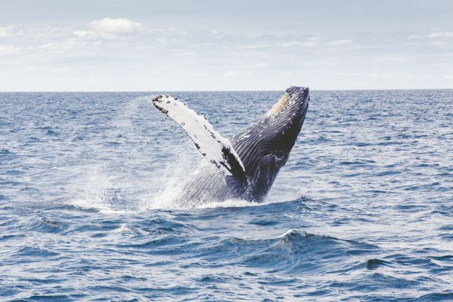 Whale breaching in the Salish Sea