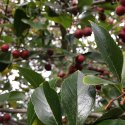 How I learned to Identify the Hawthorn Tree & Berries