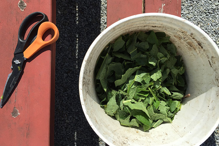 Scissors on a red picnic table and a big white bucket of cut comfrey leaves