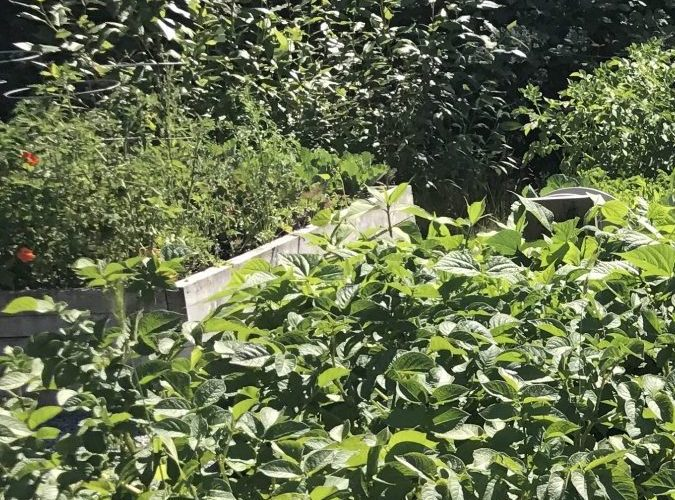 Creating an Organic Garden in Coquitlam