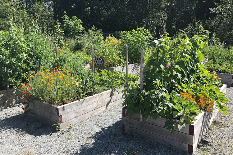 raised garden beds perfect for organic vegetable and herb gardening in Coquitlam