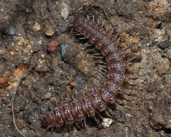 Flat-backed millipede 2