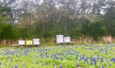 bees and bluebonnets