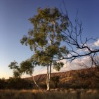 Eucalyptus with MacDonnell Ranges in early morning
