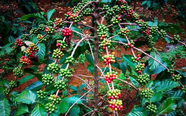 coffee beans india