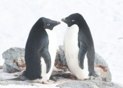 A Pair of Adelie Penguins Facing Each Other
