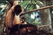 Mono colorado, mono araña
