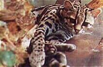 Caucel tigrillo